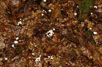 IMG_9331_DxOarticle_Marasmius_Rotula