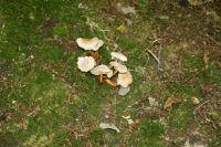 Collybia_fusipes_6987