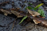 Daedaleopsis_confragosa_tricolor_IMG_7246_DxOweb
